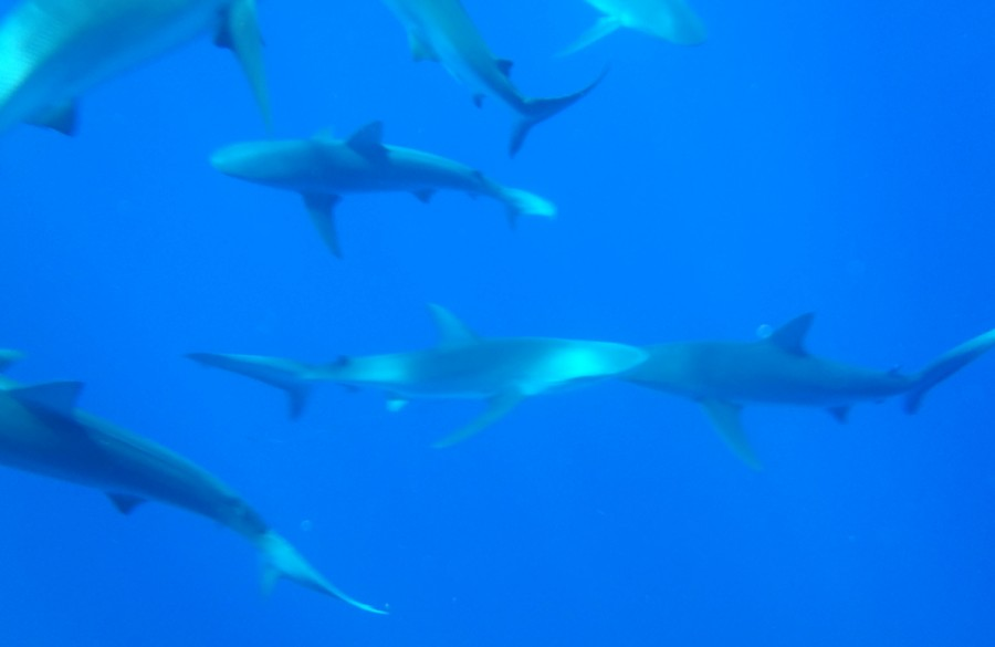 North+Shore+Shark+Adventures+give+guests+a+chance+to+get+up+close+and+personal+with+sharks.