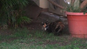 One of the 100 Chaminade cats on campus. (Photo by Remi Kohno)