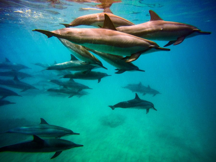 Due to proposed ban, you might not be able to swim with spinner dolphins for much longer.