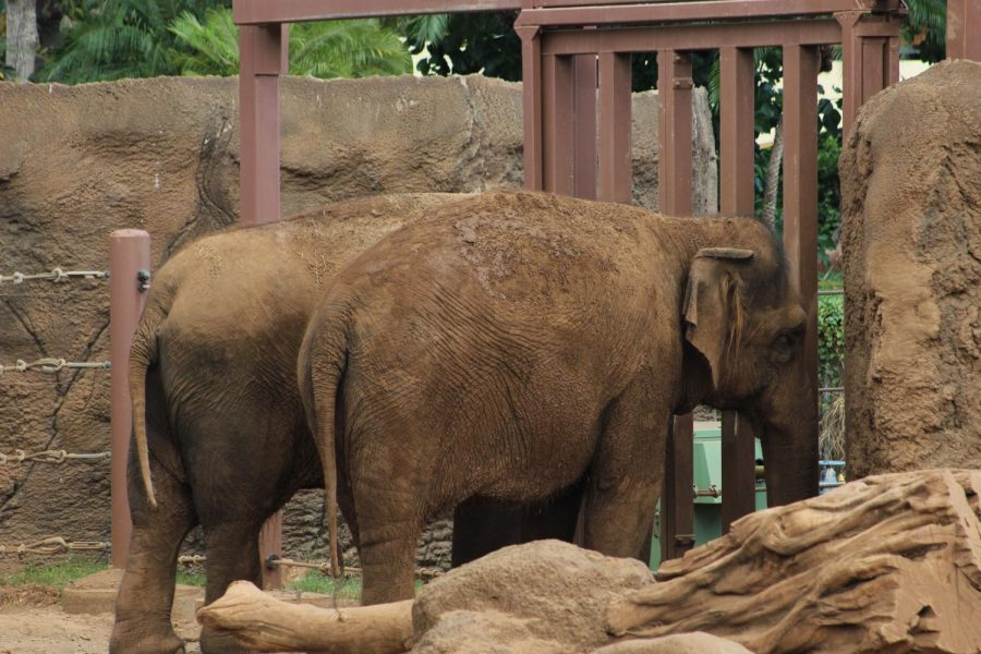 Elephants stand by gate hoping for food or to see the keeper instead of wondering the enclosure