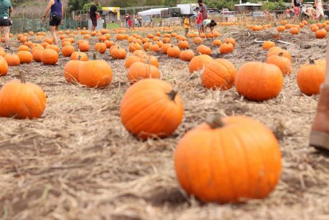 Covid Restrictions Create New Norm For Pumpkin Patches